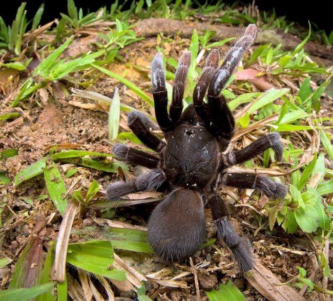 Практически нет континента, где не жил бы паук-птицеед. Но особенно им нравится в теплых странах