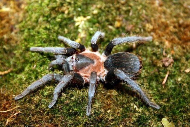 Возраст пауков грамотно считать не годами, а линьками. Сначала на свет появляется маленький паучок – нимфа, который может абсолютно не нуждаться в еде. Через пару линек нимфа становится личинкой или молодым пауком. После следующего сбрасывания «шкурки» птицееда считают взрослой особью
