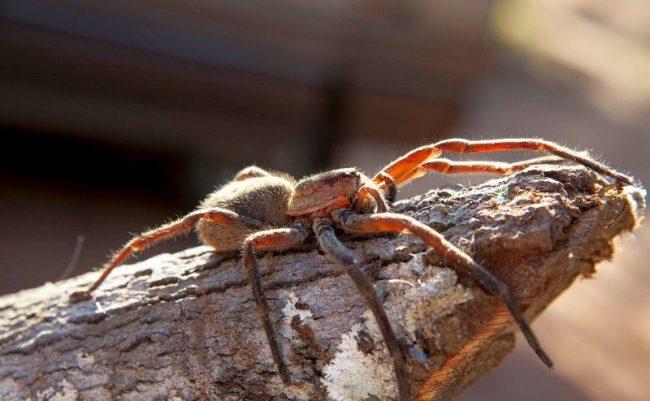 Несмотря на наличие восьми глаз, паук-птицеед имеет очень плохое зрение. Поэтому в качестве ориентира он использует свои ворсинки на теле, которыми улавливает малейшие вибрации воздуха