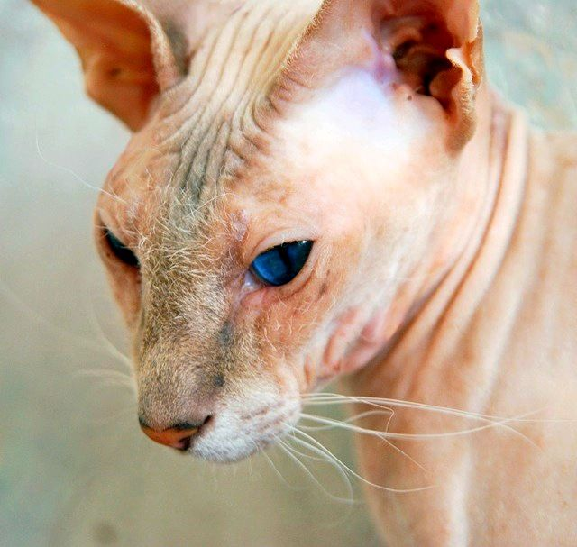 Порода петерболд - довольно молодая. Работа над ее выведением была начата в 1994 году путем скрещивания донского сфинкса и ориентальной кошки