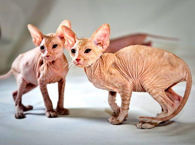 Голорожденные котята петерболд