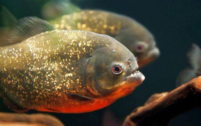 Окрас молодняка пираньи бледный, светло-серый. С возрастом у пираний меняется цвет. Самки становятся фиолетовыми, самцы – ярко-серебристыми, сине-черными, ярко-красными или серебристыми с оливковым оттенком
