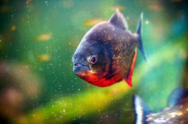 Относятся пираньи к пресноводным рыбам, а потому жители приморских районов могут быть спокойны – в соленой воде этих рыбок нет. Зато стайки, состоящие из 20 - 30 особей, можно заметить в реках и озерах, притоках и прудах, и даже на затопленных участках земли