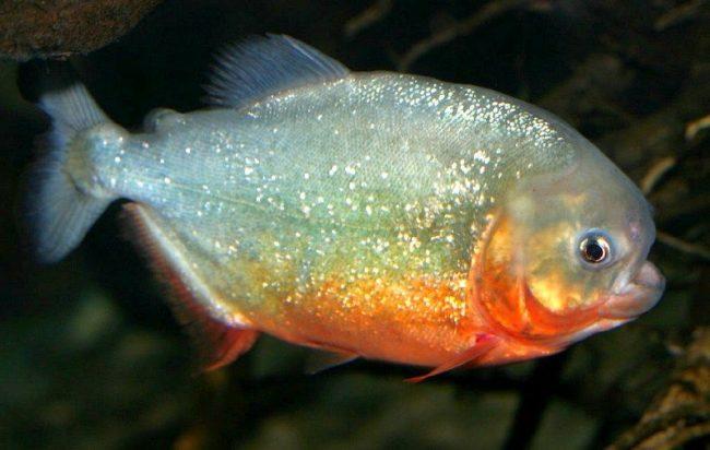 Пираньи. На одну пиранью нужен аквариум объемом не менее 100 литров. Соответственно на четыре рыбки – от 300 литров и более. В аквариум надо обязательно поместить любые предметы, в которых эти рыбки смогут спрятаться