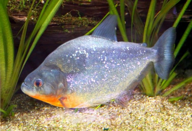 Если в дикой природе пираньи едят то, что могут поймать, то в аквариумах кормятся тем, что им дают. Пираньи не такие уж и привереды. Едят креветок, рыбу, кальмаров, дождевых червей, мышей, выползков, субпродукты