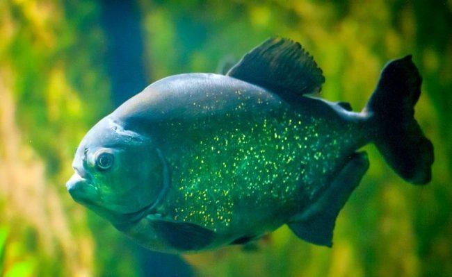 На нерест пираньи отправляются весной и до середины лета. Икру самки рыб откладывают на дно, в основном, ближе к корням растений, в ил, вырывая ямки. Икринок за один раз может быть 50 000 штук