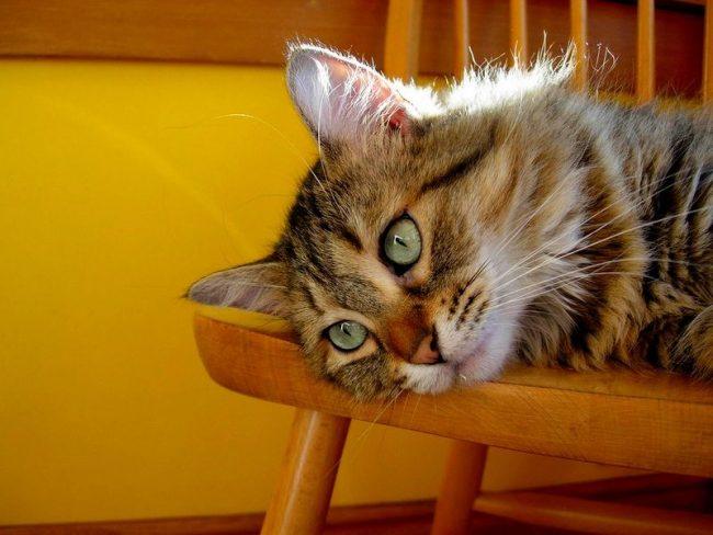 В первый год содержания котенку важно уделять время и внимание, иначе страдания от одиночества приведут животное к одичалости. Не стоит забывать и про взрослых кошек, пикси-бобы в возрасте тоже нуждаются в любви и заботе