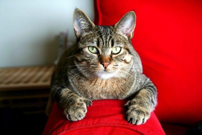 Домашние кошки породы пикси-боб универсальны - подойдут они и для семей с детьми, и для пожилых людей. Общительные и доверчивые животные скрасят любой ненастный день и сделают его теплым и уютным