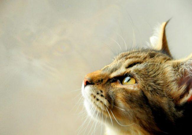 Кошки породы пикси-боб спокойны и сдержанны, эти животные не доставляют никаких хлопот своим хозяевам и ведут семя максимально прилично