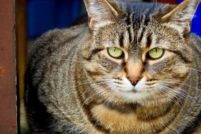 Кошки пикси-боб - умные животные с высоко развитой интуицией, послушны, понимают хозяина практически с первого раза