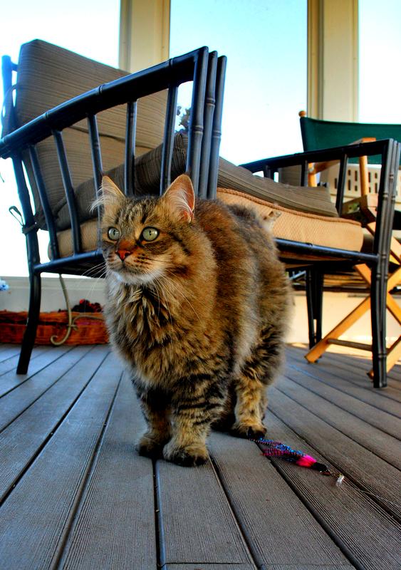 Кошки породы пикси-боб очень любят гулять, не рекомендуется отказывать им в этой привилегии, все-таки предки домашних животных были лесными дикарями
