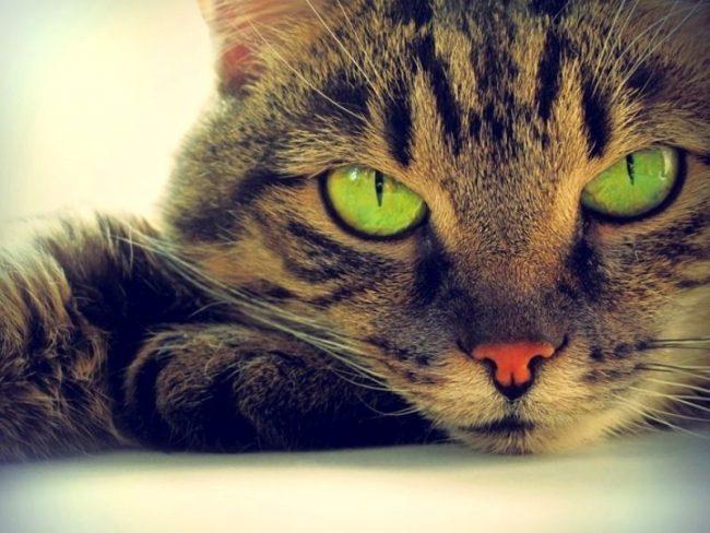 Также известно о гипнотических свойствах кошачьих глаз