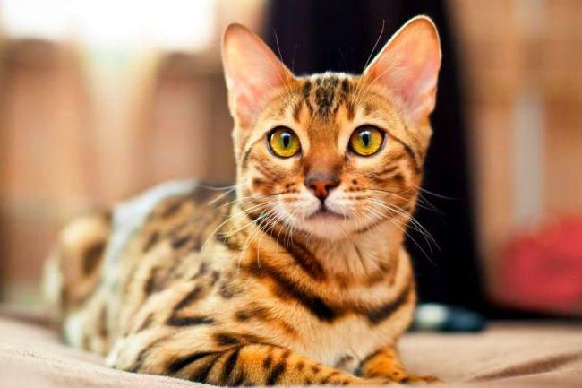 До сих пор ходят легенды о том, что кошки связаны с астральным миром невидимой нитью, по которой они передают и получают информацию из недоступных для человеческого сознания материй. Вот почему нельзя смотреть кошке в глаза - в них кроется мистика, которая недоступна нашему пониманию