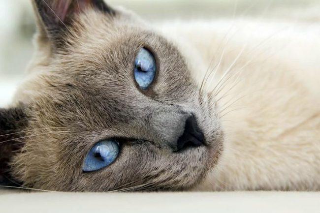 В буддизме о кошках сложилось двойственное мнение. Памятуя о том, что из всех животных Земли именно кошка не явилась на проводы Будды в мир иной, буддисты не жалуют кошку в доме, и исключили ее из списка тех, кого надо защищать. Однако оставили ей священный статус, и не обижают понапрасну, считая, что двойственная натура кошки позволяет ей достичь нирваны