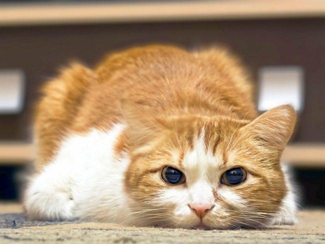 Специалисты утверждают, что прямой взгляд кошка расценивает как угрозу
