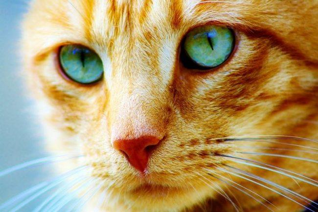 В этой статье вы узнаете, почему нельзя смотреть кошке в глаза с точки зрения науки и мистики