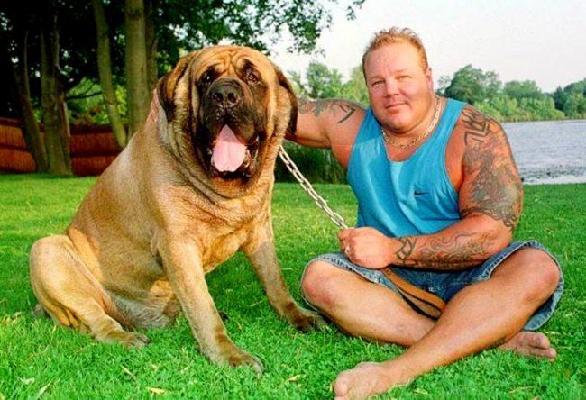 Известность этой породе принес неаполитанский мастиф по кличке Геркулес, который был занесен в Книгу рекордов Гиннеса, как самая тяжелая собака в мире весом 128 кг