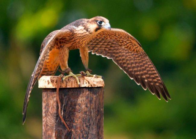 Основу рациона сапсана составляют птицы. Утки, голуби, воробьи, дрозды, скворцы – традиционные объекты охоты сокола. Иногда хищник может напасть на мелких грызунов, если они зазевались на открытом пространстве