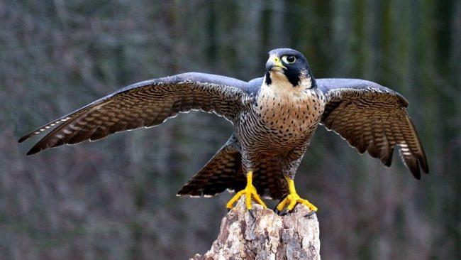 Сапсан - самая быстрая птица и самое быстрое живое существо на Земле, способное развивать скорость до 349 км/час