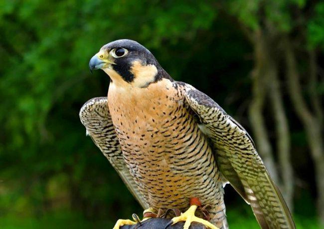 На кончике клюва птицы расположены острые зубцы, с помощью которых сапсан легко перекусывает шейные позвонки жертвы