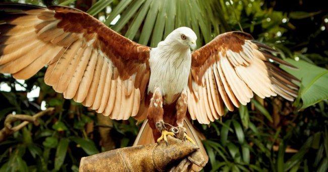 Сокол сапсан используется, как ловчая птица, с древнейших времен. В современном мире пристрастие к охоте с соколом не ушло, но содержание птицы затратное, и требует соблюдения особых правил