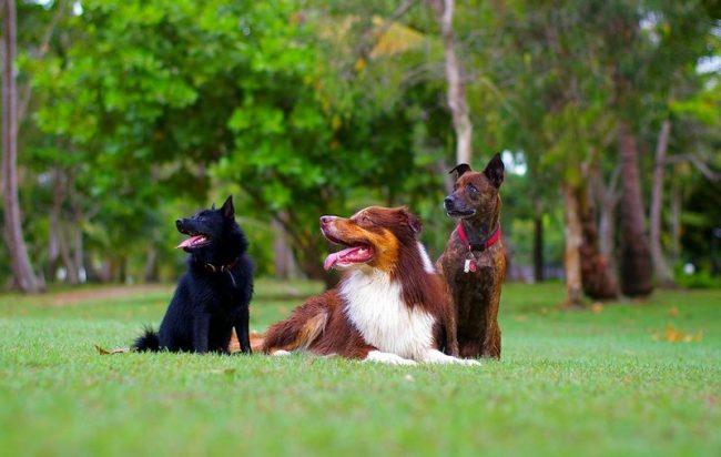 Шипперке - дружелюбная и общительная собака, которая умеет ладить с другими питомцами