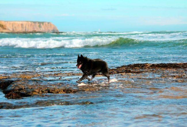 Хорошо, если у вас есть возможность прогуливаться с собакой на природе. Шипперке очень энергичные и шустрые, им необходимы пробежки и подвижные игры