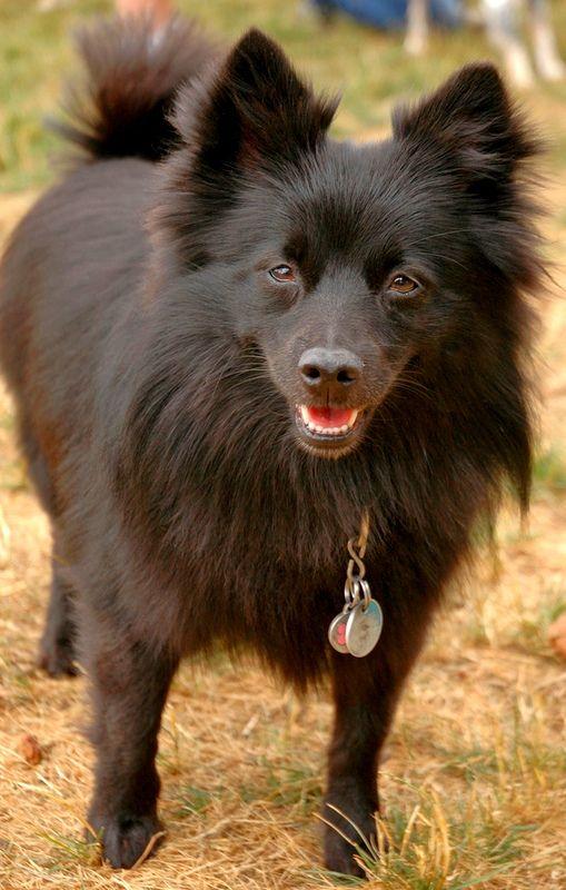 Шипперке необходима ранняя социализация, чтобы взрослая собака не облаивала всех прохожих и не бросалась с рычанием на дверь при звонке или стуке