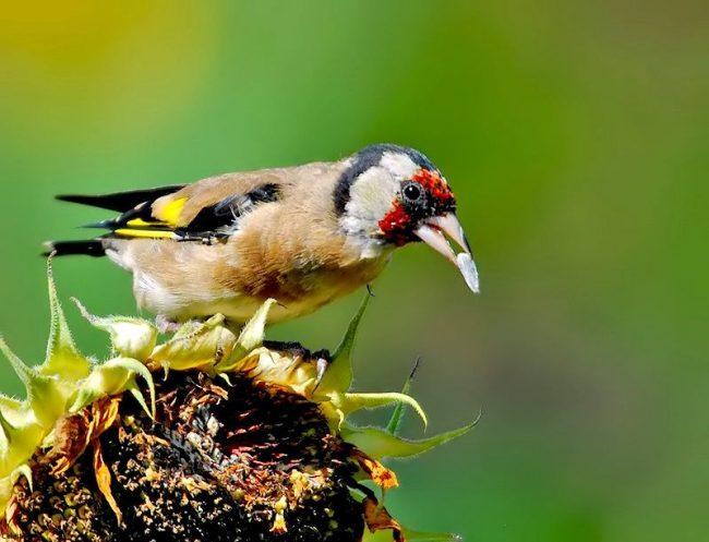 Щегол может ловко ухватиться за тонкую веточку и, повиснув на ней, спокойно выклевывать семена из раскрывшейся ольховой шишки или снять с листочка или почки какую-нибудь личинку или гусеницу
