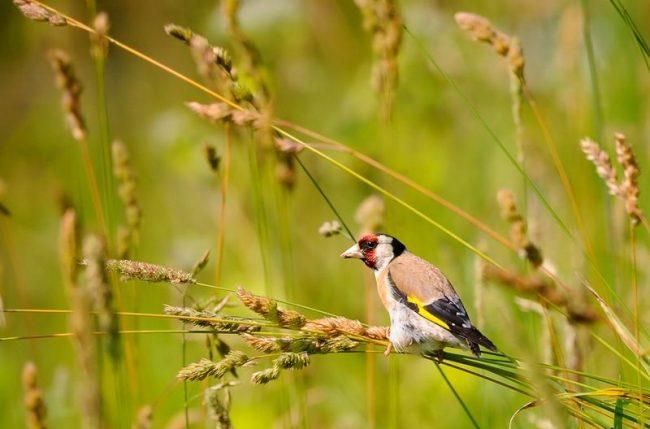 Щегол. Щеглам нравятся сады, лиственные рощи, редколесье. Перелет на зимовку в теплые края для птиц не принципиален. Хотя некоторые из них отправляются на юг, большая их часть обычно остается на насиженных местах