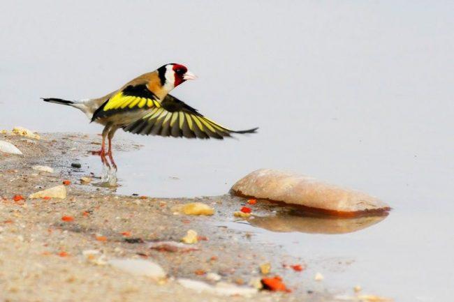 Щегол. В качестве корма щеглу можно давать обыкновенную зерносмесь, предназначенную для зерноядных птиц. Важным моментом будет повышенное содержание в ней масличных семян