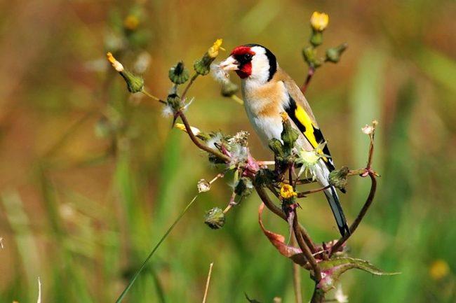 Пойманный щегол начинает петь через пару месяцев. Если птица бьется о клетку, первое время завесьте ее с трех сторон белой материей, чтобы щегол чувствовал себя уютнее