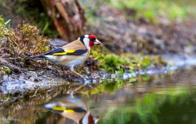 Щегол - одна из немногих диких птиц, кто с легкостью привыкает жить в домашних условиях. К тому же, при правильно уходе, в неволе птичка гораздо дольше живет, чем в дикой природе
