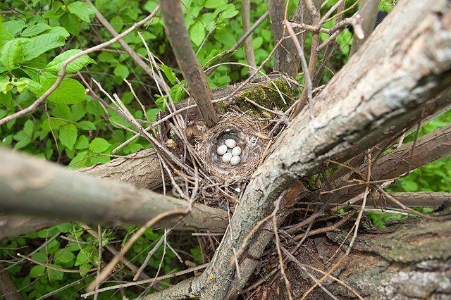 Гнездо щегла. Главным строителем гнезда выступает самочка. Она располагает его высоко на дереве далеко от ствола