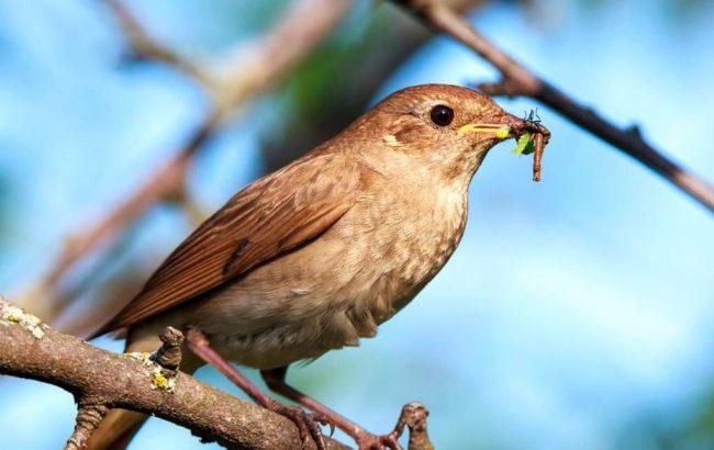 Ночная жизнь соловья посвящена пению, а дневная – поиску пропитания. Он бегает по земле, разгребает листья и ворох, достает гусениц, жучков, червячков, паучков, личинки и другую живность. Соловей – птица ловкая, так что может поймать добычу и на лету