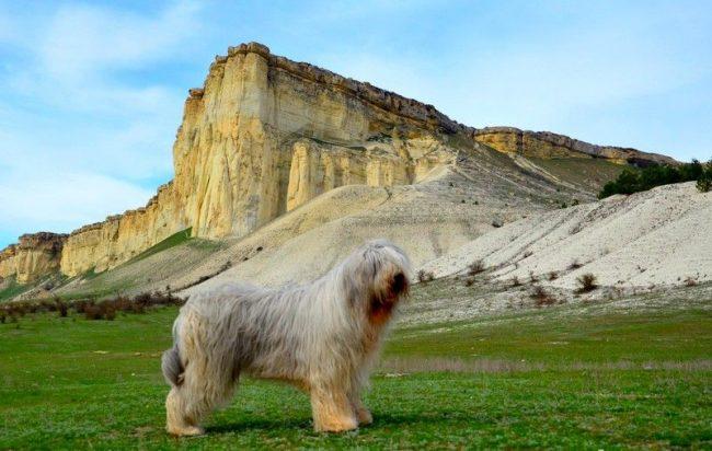 Южнорусская овчарка очень подвижна, поэтому на прогулках она должна вволю набегаться и выплеснуть энергию, накопившуюся за день