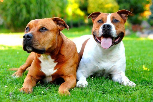 Сегодня этого пса выбирают в качестве друга и защитника семьи