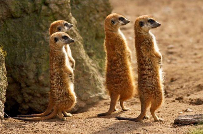 Сурикат. Стоящий по стойке «смирно» зверек, настороженно смотрящий вдаль, – такими часто мы видим на фото сурикатов. Прикольные и милые, эти животные вызывают желание погладить их и почесать за ушком