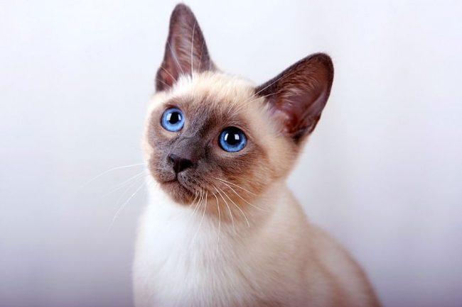 Здоровые котята тайской кошки очень подвижны, у них ровный хвост без заломов и утолщений, чистые ушки и чистые глаза. Маленькие тайцы не проявляют агрессии, не пугливы и любознательны не менее взрослых особей