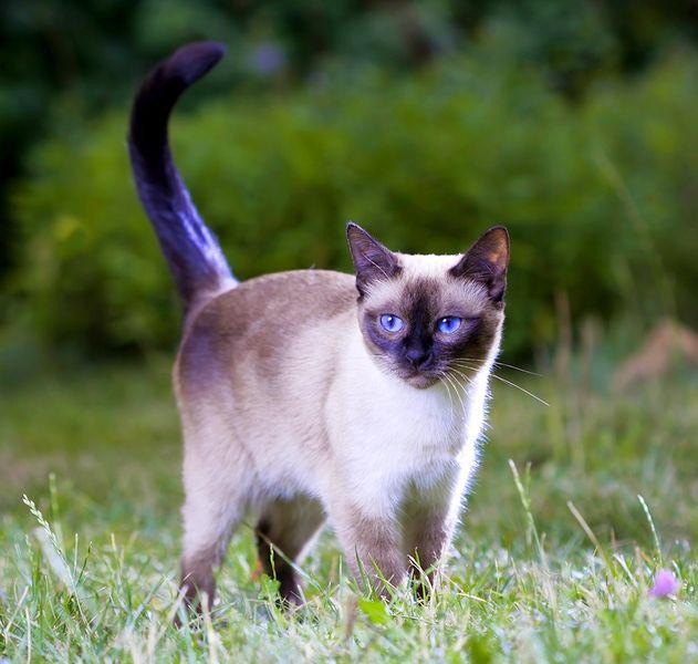 Тайская кошка была выведена от сиамской породы. Однако они имеют явные различия: тайцы, по сравнению с сиамами, более округлы, компактны, имеют небольшие ушки
