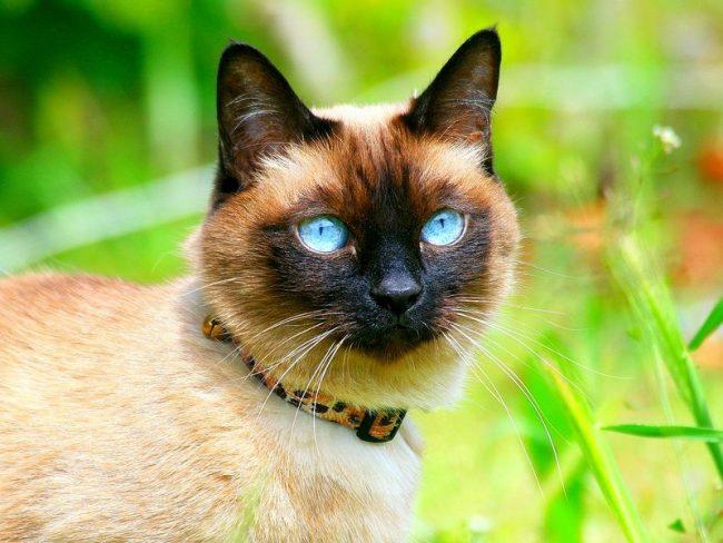 Тайскиа кошка не только одна из самых здоровых пород, эти животные являются долгожителями и нередко доживают до весьма преклонного возраста - 20 - 28 лет