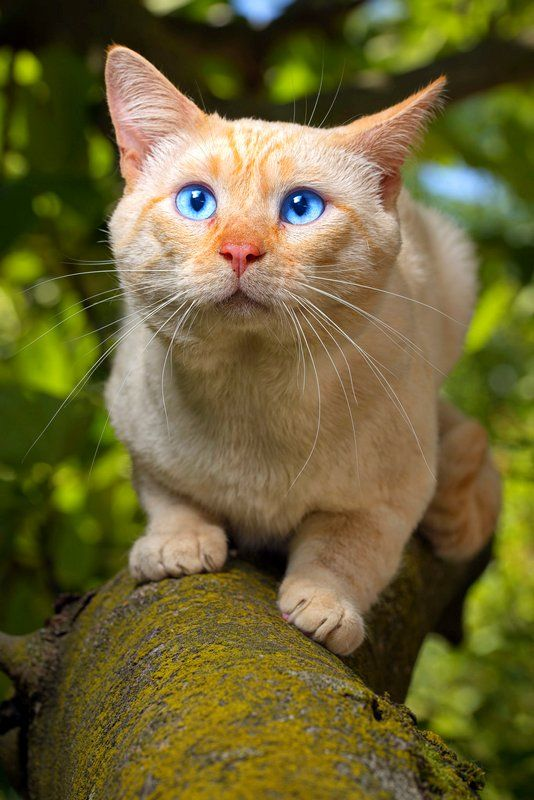Найден прототип кота из Шрека!