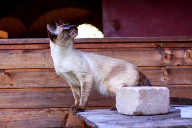 Тайская кошка умна и сообразительна, поддается дрессировке и могжет запоминать команды