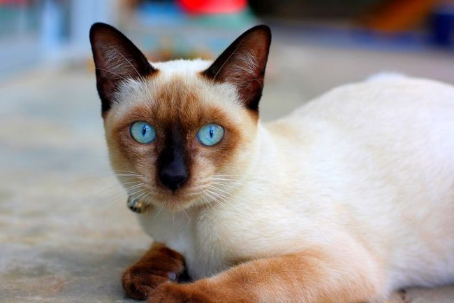 Тайская кошка - настоящая красавица с удивительным окрасом и выразительными голубыми глазами. За привлекательной внешностью скрывается чуткое и любознательное животное, горячо любящее своего хозяина