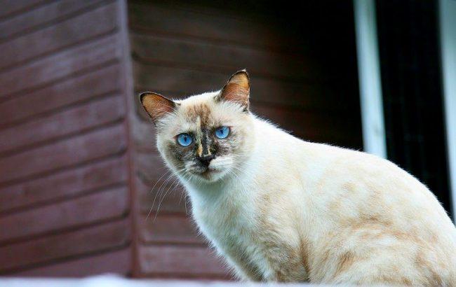 Тайскую кошку можно содержать и в загородном доме, и в квартире. Главное условие для ее содержания - организация свободного пространства. Энергичность и активность тайской кошки заставляют ее бегать, прыгать, играть целыми днями