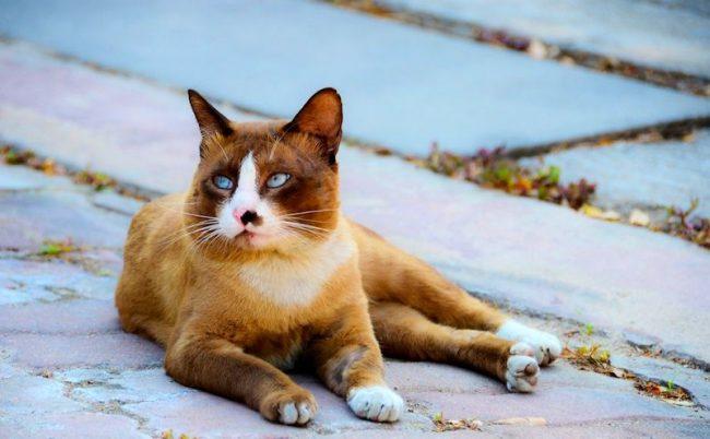 Палитра окраса тайцев очень велика, так что тайская кошка может быть совершенно любого цвета. Неизменными остаются голубые глаза