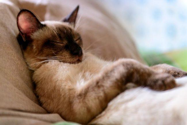 Тайская кошка - животное активное. Ей нужно немного времени для сна, поэтому тайцев редко застанешь за этим занятием