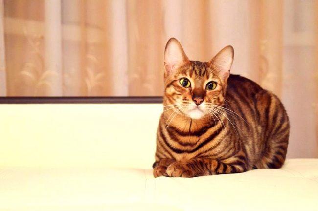 Тойгер кошки умеют вести размеренный образ жизни, как настоящие солидные тигры. Они не будут носиться по дому, сбивая все на своем пути. Не станут они и шкодить, если их что-то не устроило в поведении хозяев