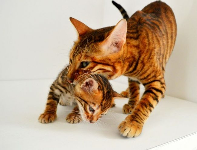 Отлучать котенка от мамы можно в 2 - 2,5 месяца