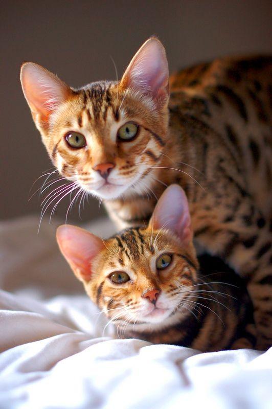 Тойгер кошки не нуждаются в особом уходе за шерстью. Достаточно одноразового еженедельного расчесывания. Купать тигренка стоит только тогда, когда он сильно замарается